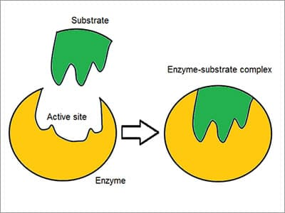 enzyme sequence